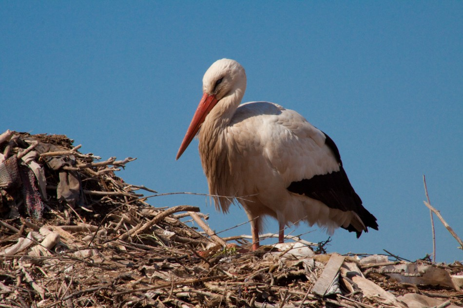 Stork in his nest
