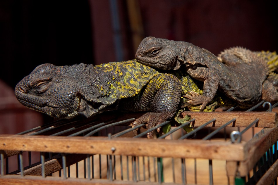 Two lizards on their cage